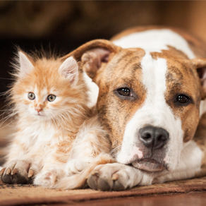 A large dog and a small kitten next to each other